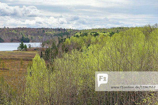 Emerging foliage in early spring aspens in a mixed forest overlooking a leatherleaf bog  Greater Sudbury  Ontario  Canada.