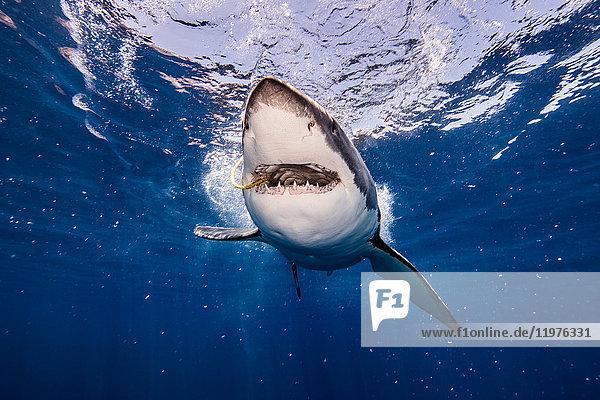 Unterwasseraufnahme eines Weissen Hais mit Köder im Maul  Campeche  Mexiko
