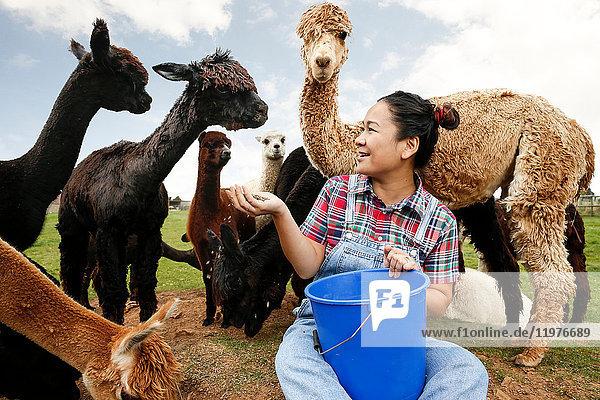 Frau füttert Alpakas auf dem Bauernhof