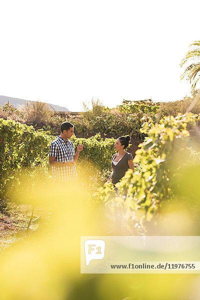 Männliche und weibliche Winzer im Weinberg  Las Palmas  Gran Canaria  Spanien