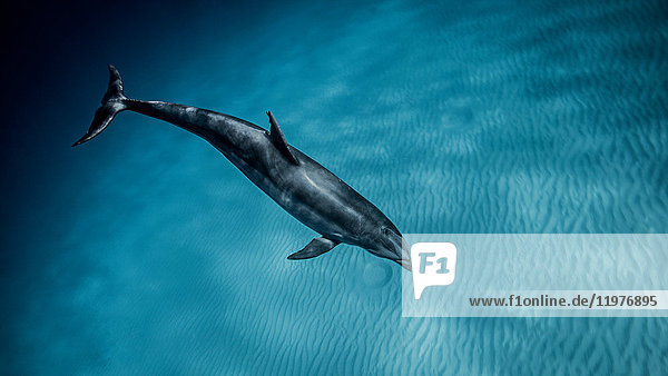 Underwater view of bottlenose dolphin swimming in blue sea  Bahamas