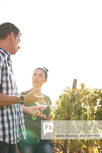 Winzerpaar diskutiert über Weinreben im Weinberg  Las Palmas  Gran Canaria  Spanien