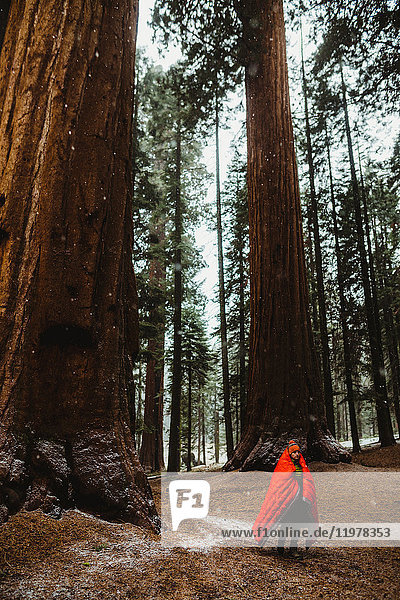 Young male hiker wrapped in red sleeping bag in forest  Sequoia National Park  California  USA