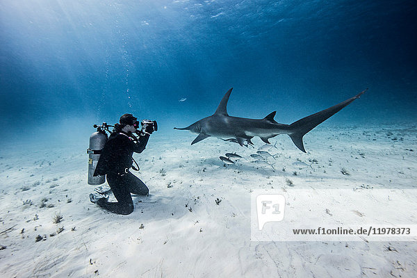 Underwater view of female scuba diver photographing great hammerhead sharks from seabed  Bimini  Bahamas