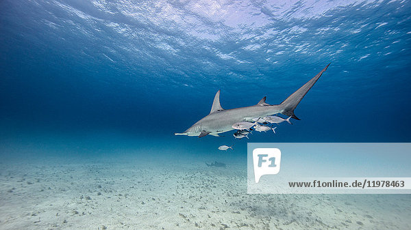 Underwater view of great hammerhead shark swimming above seabed  Bahamas