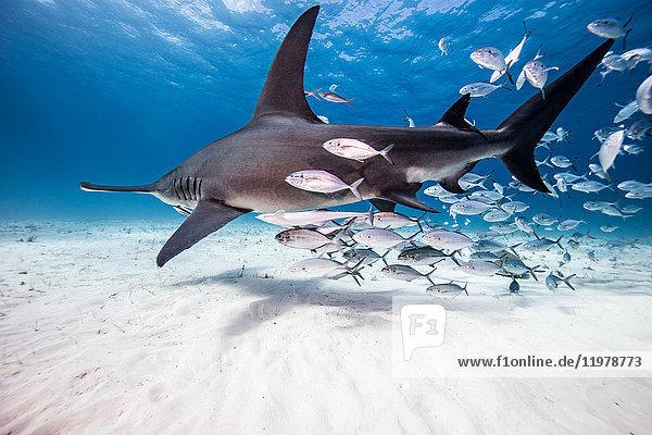 Unterwasser-Ansicht des grossen Hammerhais und Köderfisch  Bahamas