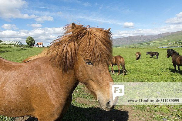 Portrait of an Icelandic horse on a pasture near Akureyri  northern Iceland.