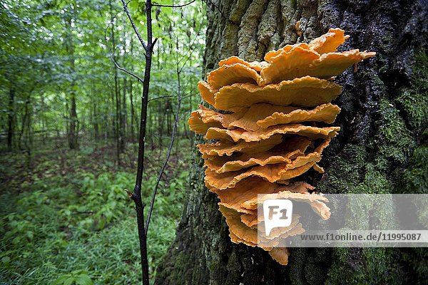 Fungi in the trees. Bialowieza National Park. Bialowieza  Podlasie  Poland  Europe.