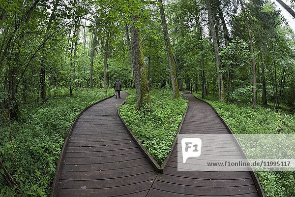 Wooden path. Bialowieza National Park. Bialowieza  Podlaquia  Poland  Europe.