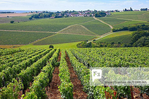 Vineyards of Chardonnay  Préhy  Chablis  Yonne  Bourgogne  Burgundy  France  Europe