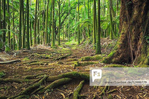 Palm forest on Onomea Bay  Hamakua Coast  The Big Island  Hawaii USA.