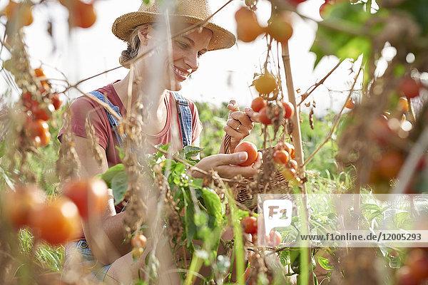 Junglandwirt pflückt reife Tomaten