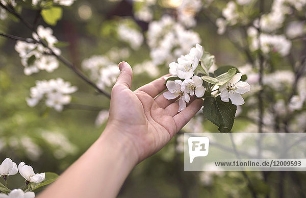 Hand of Caucasian woman holding flowers on branch