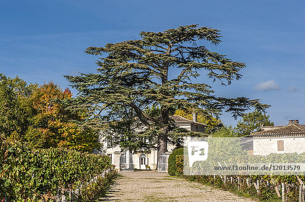 France  Gironde  Lebanese cedar in front of Chateau Dalem of AOC Fronsac