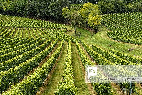France  Gironde  AOC Castillon Cotes de Bordeaux vine rows on a hillside