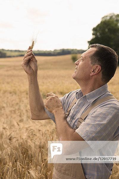 Lächelnder reifer Mann  der auf die Weizenähren schaut  während er in der Farm gegen den klaren Himmel steht.