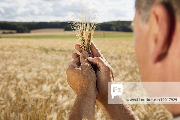 Abgeschnittenes Bild eines Mannes mit Weizenähren auf dem Bauernhof an einem sonnigen Tag.