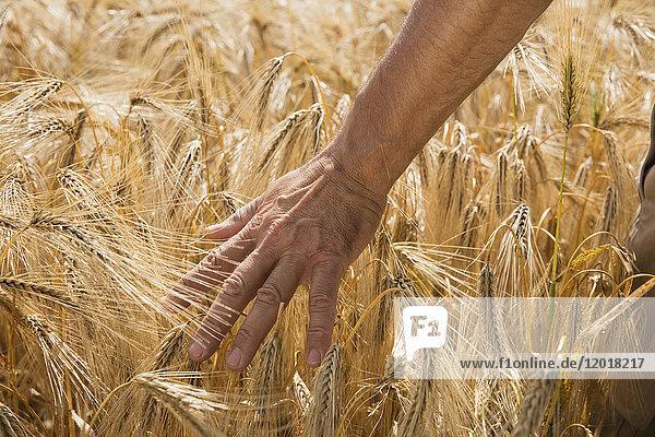 Abgeschnittenes Bild von der Hand des Menschen beim Berühren von Weizenkulturen auf dem Bauernhof