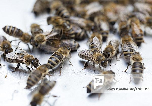 Bienen auf weißem Untergrnd