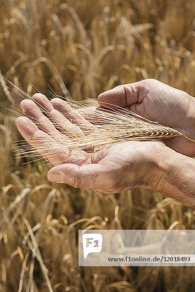 Abgeschnittenes Bild von Menschenhänden  die Weizenähren auf dem Bauernhof halten.