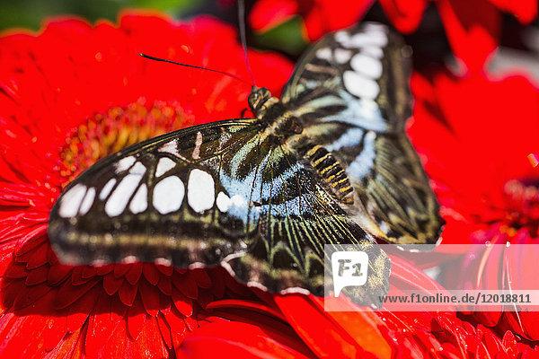 Nahaufnahme des Schmetterlings auf rotem Gerbera-Gänseblümchen