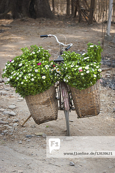 Bicycle loaded with flowers  Hsipaw or Thibaw  Burma
