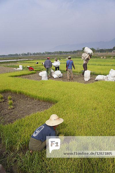 Child working in a rice paddy field  Nyaung Shwe  Burma