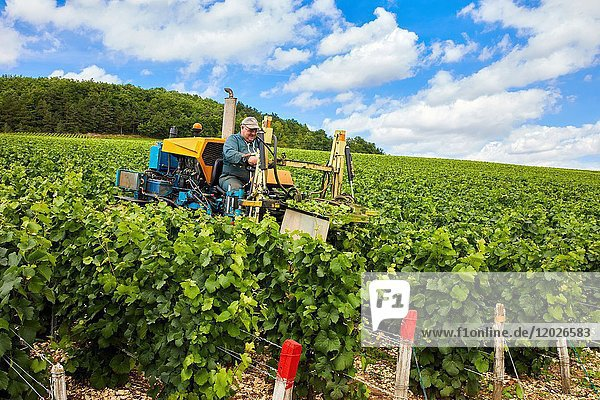 Le Vignoble  Vineyards of champagne  Bar-sur-Seine  Aube  Champagne-Ardenne  France  Europe
