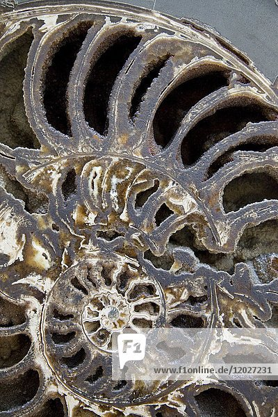 Fragment of Ammonite Fossil  Natural History Museum  London