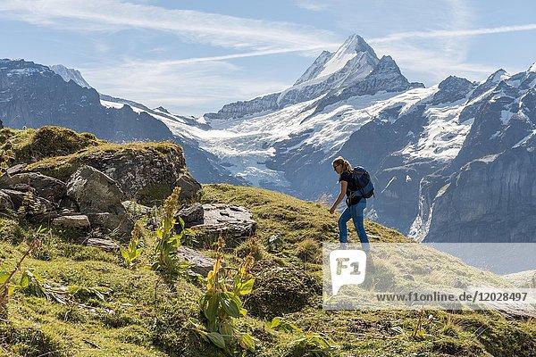 Wanderin  hinten schneebedeckte Eiger-Nordwand  Eiger  Mönch  Jungfrau  großes Fiescherhorn  Grindelwald  Bern  Schweiz  Europa