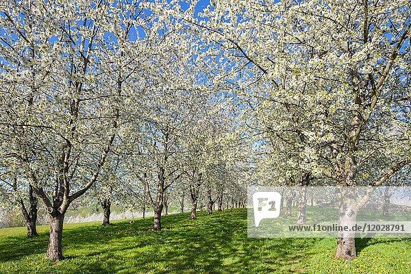 Blühende Kirschbäume im Eggenertal im Vorfrühling  Niedereggenen  Schliengen  Baden-Württemberg  Deutschland  Europa
