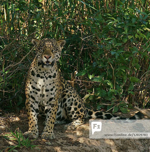 Jaguar (Panthera onca)  sitzt im Schatten an Uferböschung  Pantanal  Mato Grosso  Brasilien  Südamerika