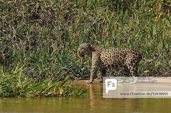 Jaguar (Panthera onca) läuft am Fluss  Pantanal  Mato Grosso  Brasilien  Südamerika