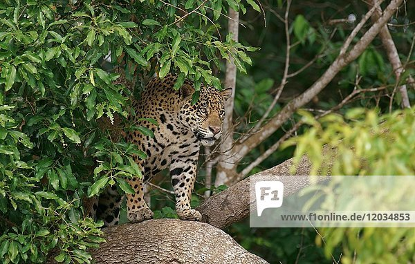 Jaguar (Panthera onca) im Baum  hält Ausschau  Pantanal  Mato Grosso  Brasilien  Südamerika