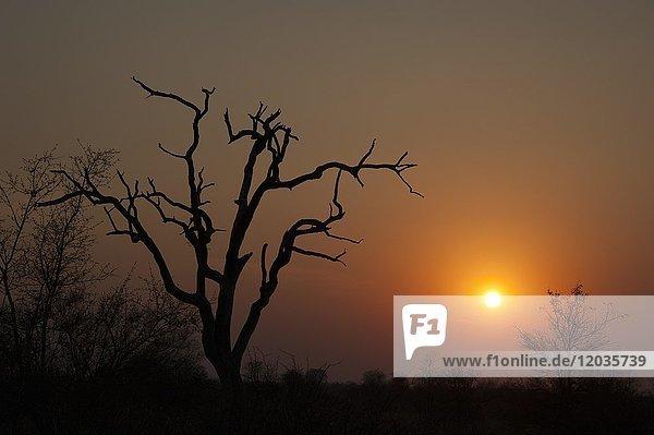 Sonnenuntergang über Baumsavanne  Krüger Nationalpark  Südafrika
