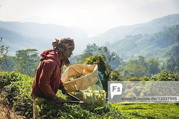 Einheimischer junger Mann  Teepflücker erntet  pflückt Tee  Teeplantage  Anbau von Tee  Cameron Highlands  Tanah Tinggi Cameron  Pahang  Malaysia  Asien