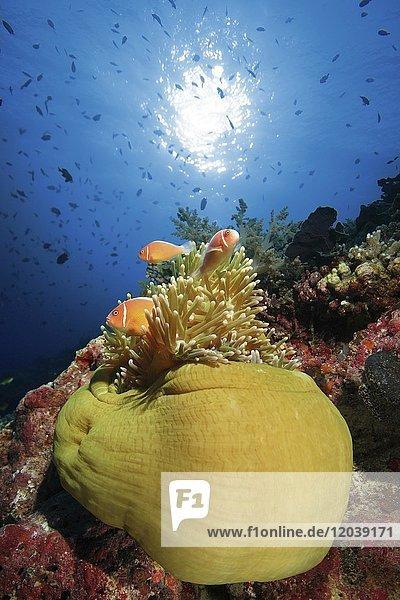Pink skunk clownfish (Pink skunk clownfish) in magnificent sea anemone (Heteractis magnifica)  Sabang  Puerto Galera  Mindoro  Philippines  Asia