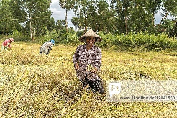 Women harvesting rice in the fields  Kampot  Cambodia  Asia