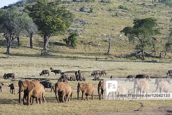 A breeding herd of African elephants (Loxodonta africana) walking on a plain to reach a waterhole  Tsavo  Kenya  East Africa  Africa