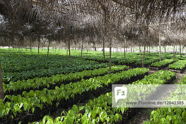 Small cocoa trees at a cocoa nursery in Ghana  West Africa  Africa