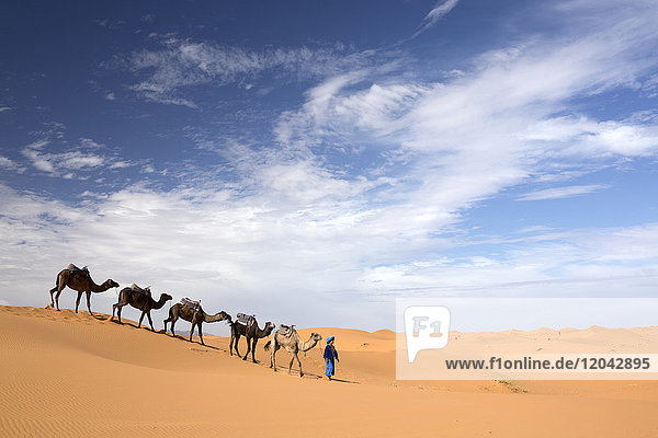 Camels being led over dunes of the Erg Chebbi sand sea  part of the Sahara Desert near Merzouga  Morocco  North Africa  Africa