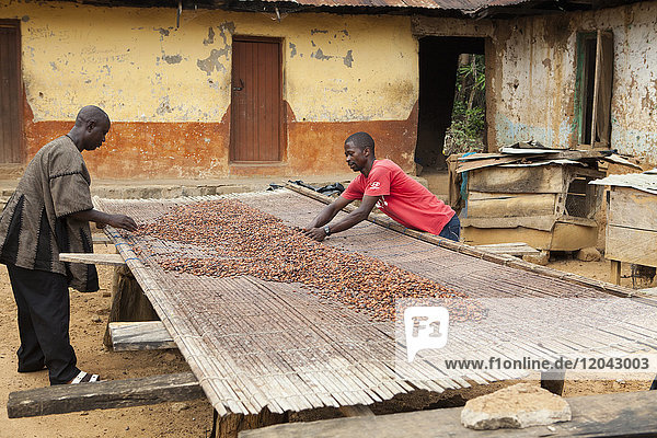 Two cocoa farmers lay out their cocoa beans on bamboo matting to dry in the sun  Ghana  West Africa  Africa