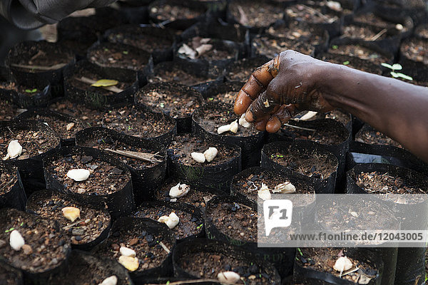 Cocoa beans being planted at a cocoa nursery in Ghana  West Africa  Africa