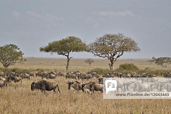 Blue wildebeest (brindled gnu) (Connochaetes taurinus) migration  Serengeti National Park  Tanzania  East Africa  Africa