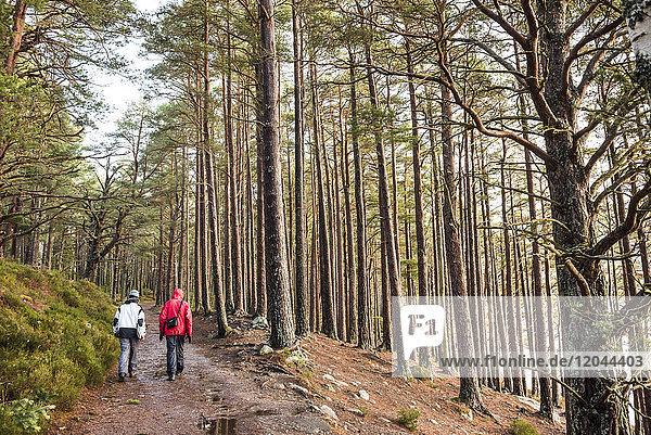 Hiking in Rothiemurchus Forest at Loch an Eilein  Aviemore  Cairngorms National Park  Scotland  United Kingdom  Europe
