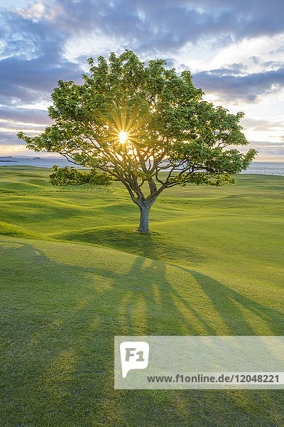 Sun shining through a maple tree on a golf course on the coast at sunset at North Berwick in Scotland  United Kingdom
