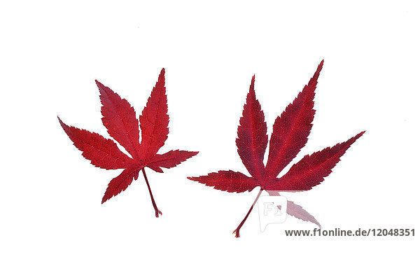 Two red autumn leaves of Japanese Maple (Acer palmatum) on a white background  Germany