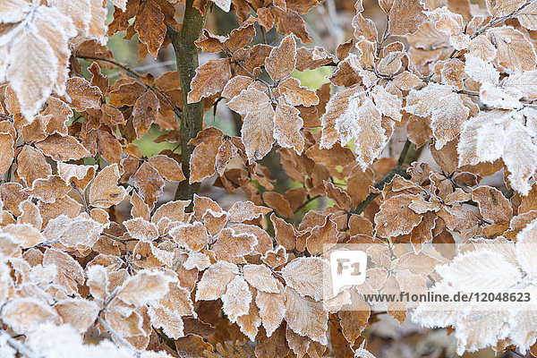 Close-up of beech tree leaves in autumn covered with rime in the Odenwald hills in Bavaria  Germany