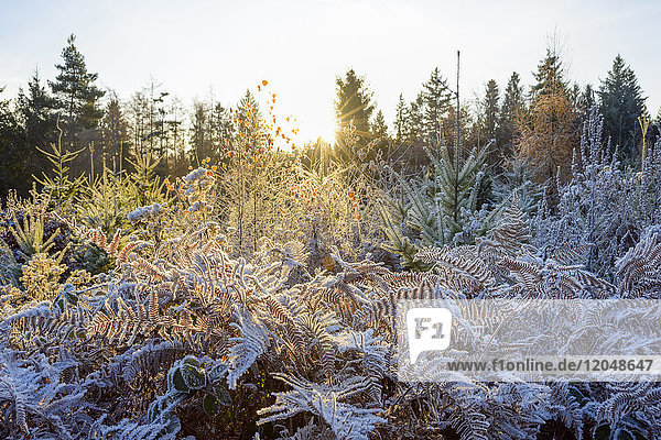 Autumn forest with morning sun and rime covering the plants in the Odenwald hills in Bavaria  Germany