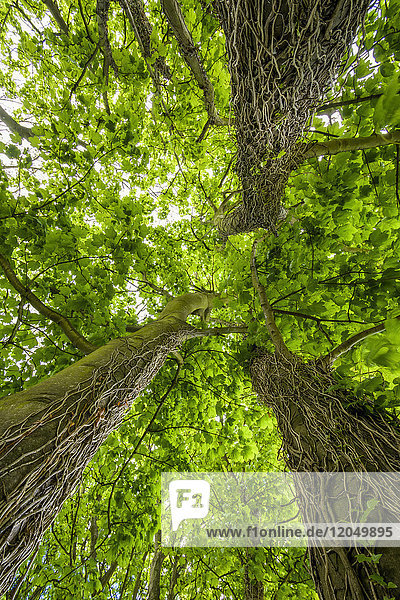 Maple tree with rank plants and vines climbing up tree trunk in the village of St Abbs in Scotland  United Kingdom